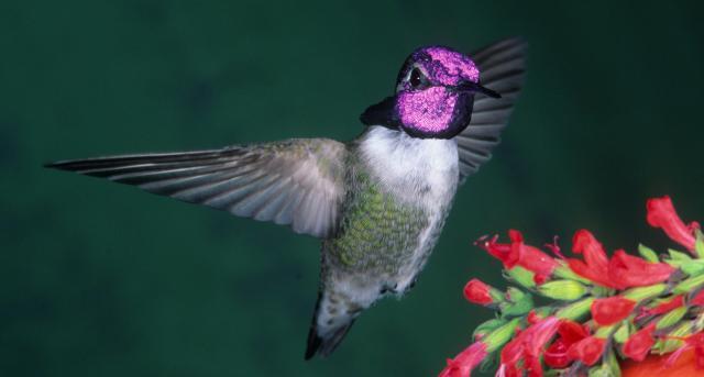 Costa's Hummingbird r25-10-040_V